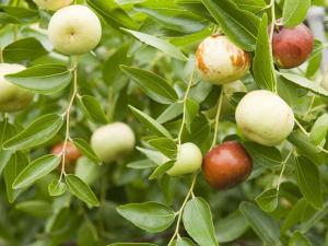 Ölümsüzlük meyvesi olarak biliniyor! Yiyenler kanserden korunuyor