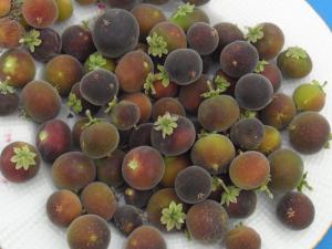 Türkiye'de ilk kez üretildi! 5 yıl sonra meyve veren ağaç...