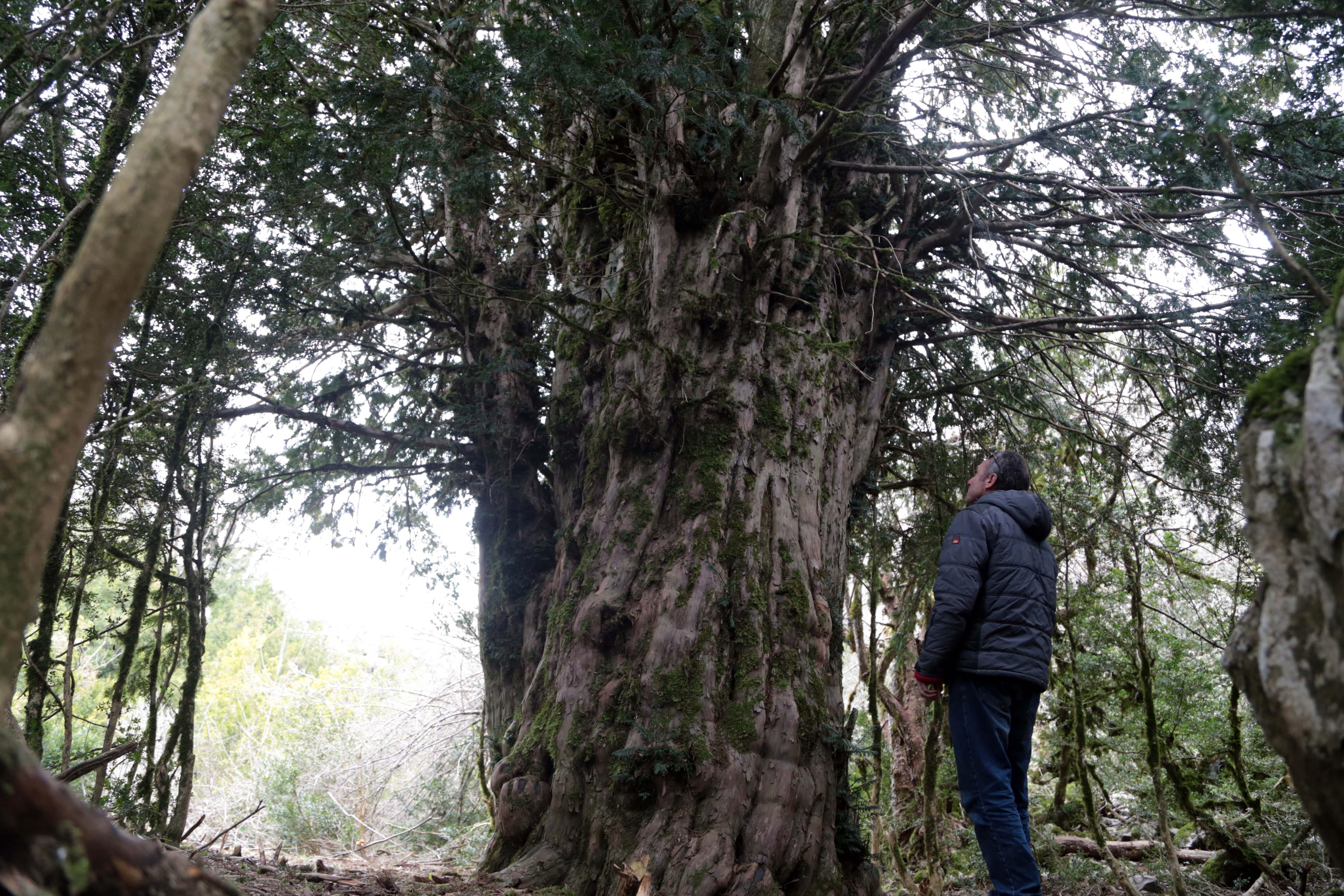 Tesadüfen bulunan 2 bin 500 yıllık ağaç asırlara meydana okuyor