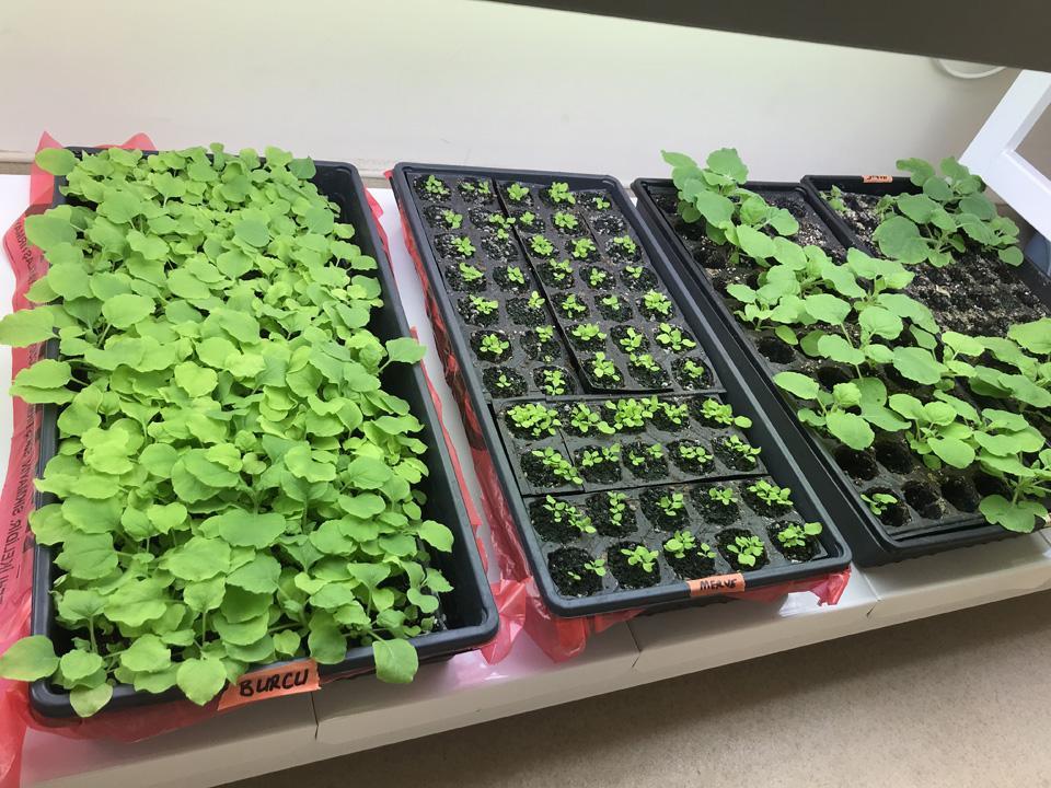 Akdeniz Üniversitesi'nde tütün bitkisinden koronavirüs aşı çalışması...