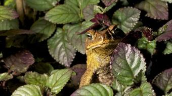 ABD'de Covid-19 ve katil eşek arılarının ardından yeni tehlike! Zehirli kurbağalar