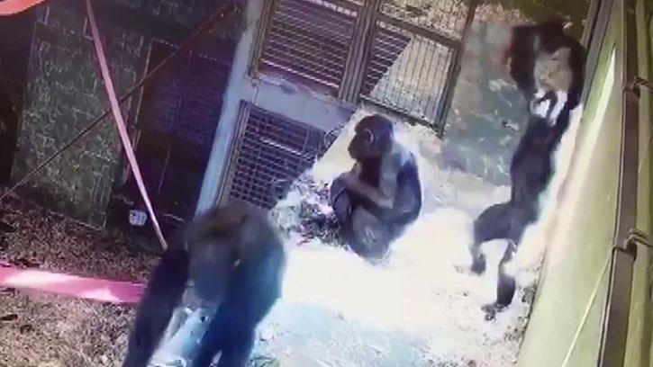 Anne Şempanze ve Yavrusunun Eğlenceli Oyunu