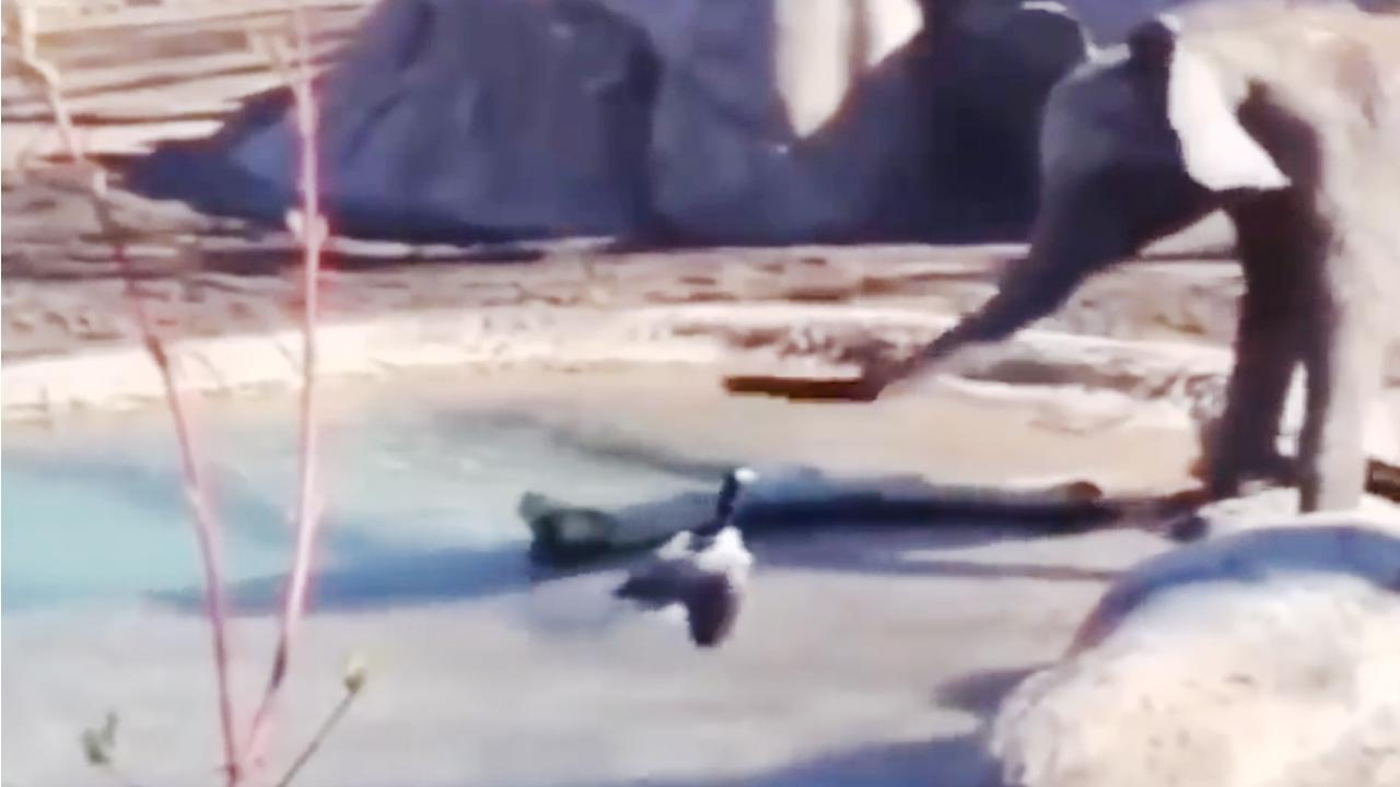Yürek yemiş ördek koca fili canından bezdirdi
