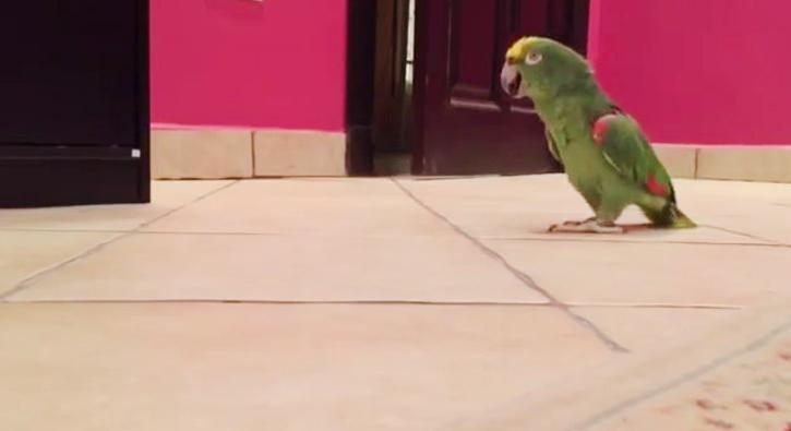 Evden kaçan papağan böyle kahkaha attı