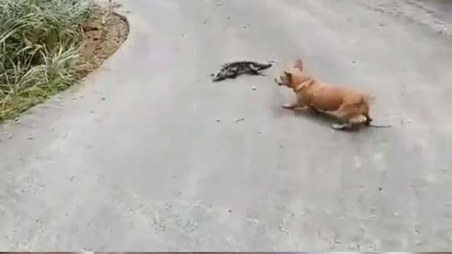 Kertenkeleye Saldıran  Köpek Hayatının Şokunu Yaşadı