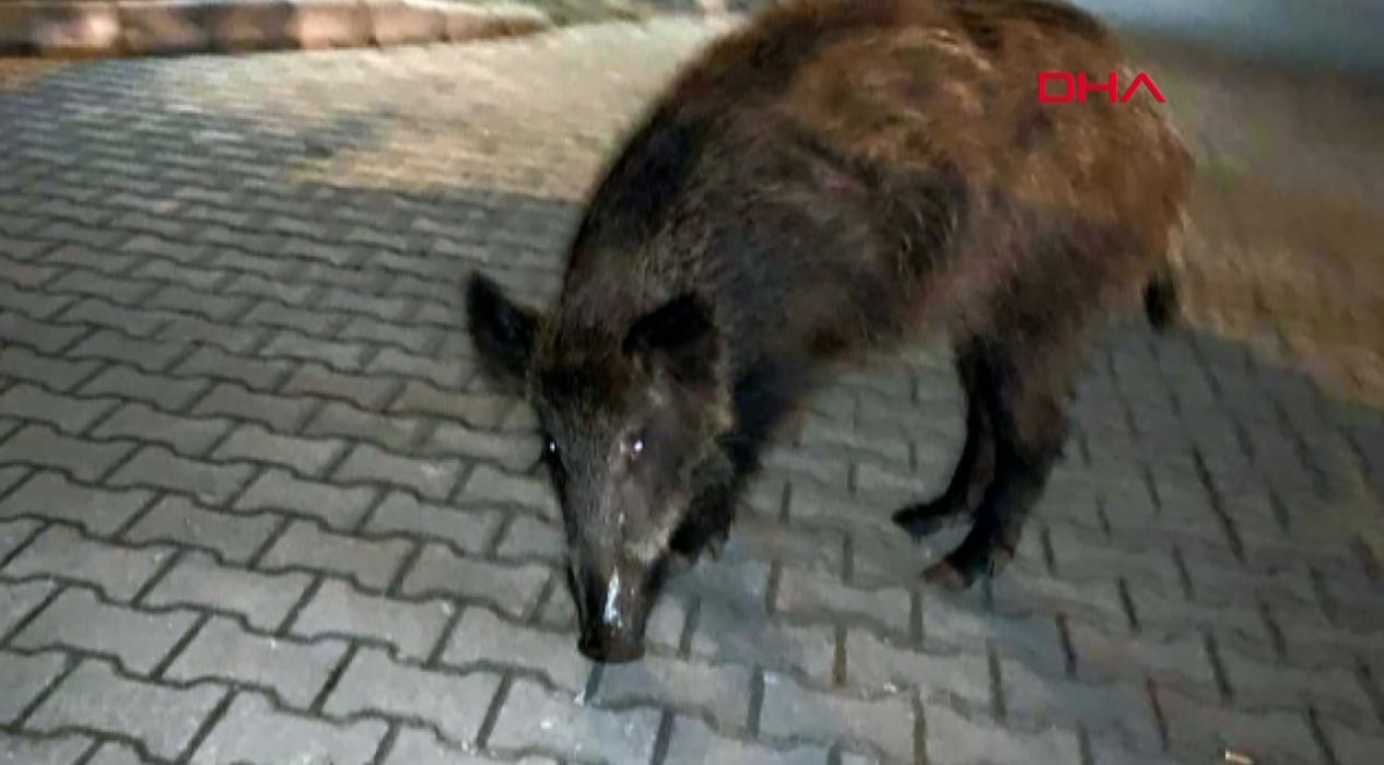 Yaban domuzları aç kalınca şehir merkezine indi