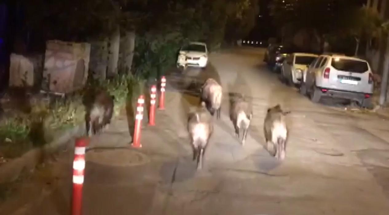Aç kalan domuzlar sokağa indi