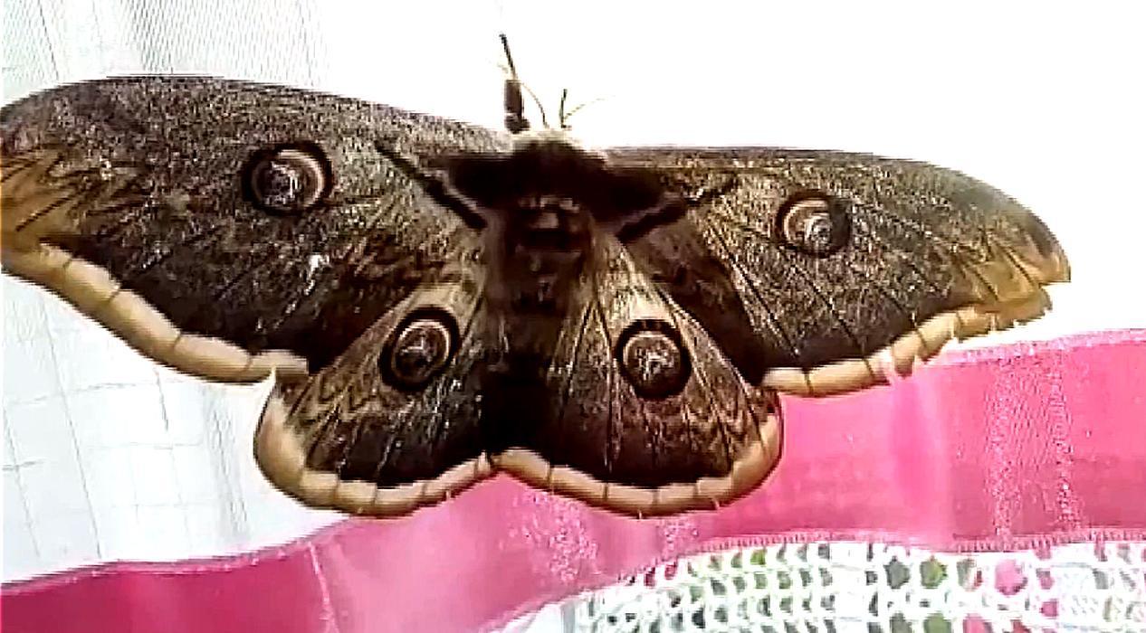Dev kelebek görenleri hayrete düşürdü