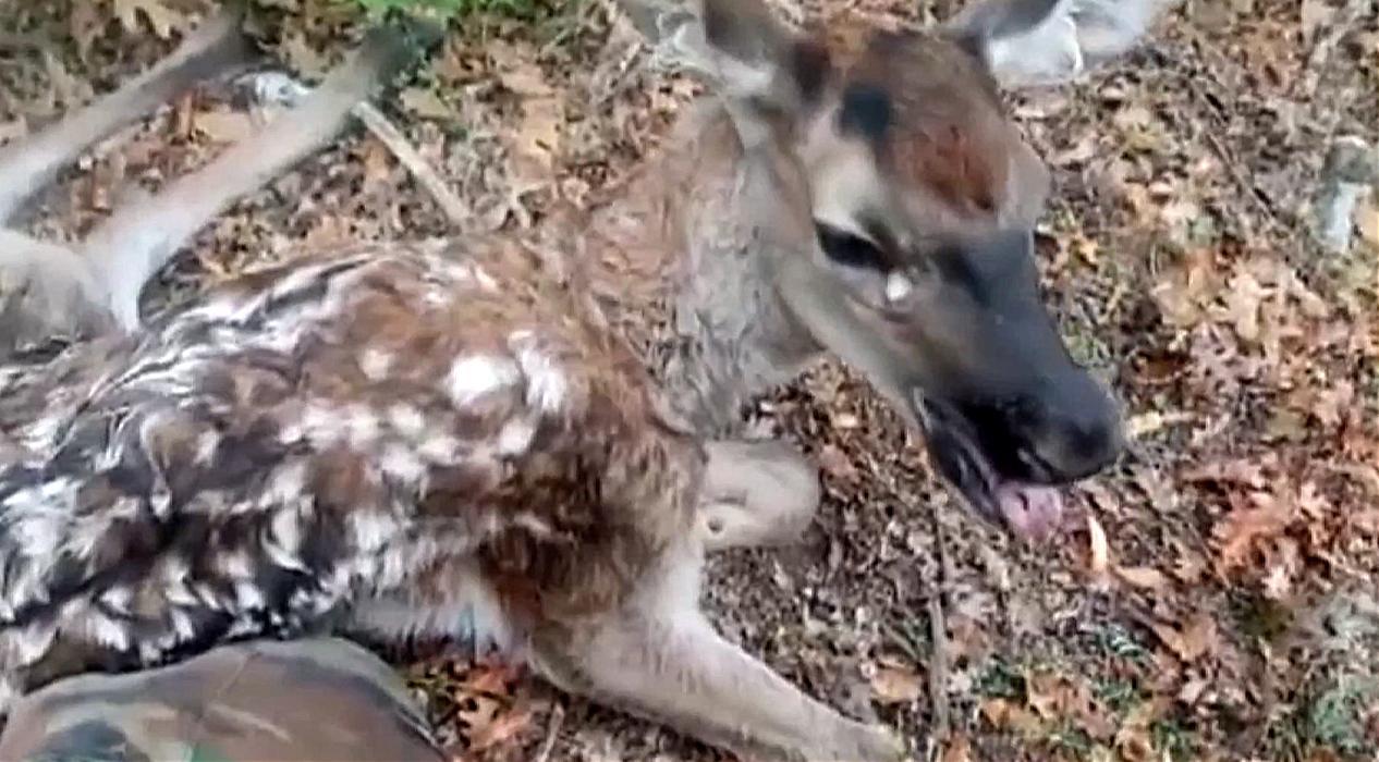 Yaralı geyik yavrusunu bulan çoban tedavi için dağdan indirdi