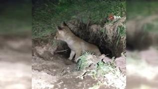 Minik yavru tilki annesini beklerken görüntülendi