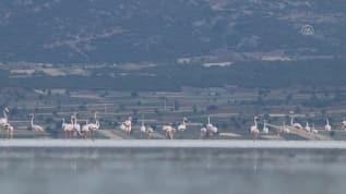 Burdur'un Yarışlı Gölü'nde flamingo  yoğunluğu...