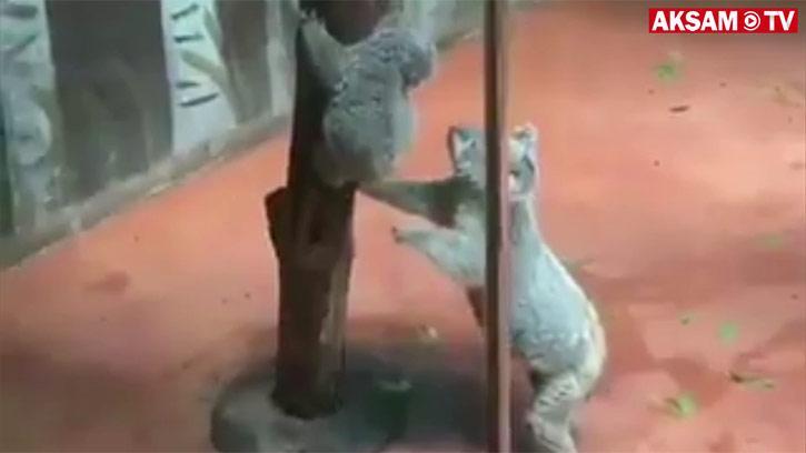 Ağaçtan İnen Yavrusu Düşmesin Diye Tutan Koala