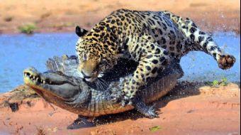 Jaguar ve Timsahın İnanılmaz Ölüm Düellosu Kamerada