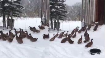 Karlı Havada Dışarı Çıkan Ördekler Kümeslerine Hızla Geri Döndü