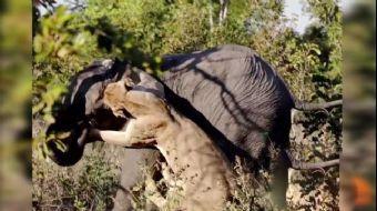 Fil Avlamaya Çalışan Dişi Aslan