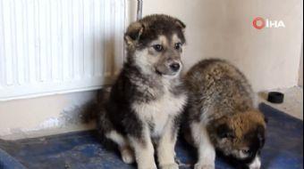 Dondurucu Soğukta Annelerini Kaybeden Yavru Köpeklere Belediye Sahip Çıktı