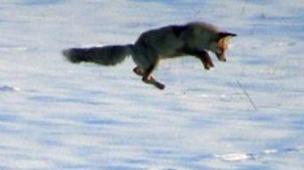 Kars'ta kar ve soğuk hava insanları olduğu kadar yaban hayvanlarını da olumsuz yönde etkiliyor. Tarl