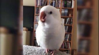 Beatbox Yapan Sevimli Kuş Rekor Kırdı