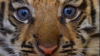 Doğal Yaşam Parkı'nda İlk Kez Kaplan Doğdu