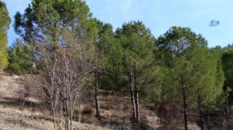 Amasya'da 4 gün boyunca ormanlık alandaki ağaçları ateşe verip kaçan şahıs son girişiminde ormana gi