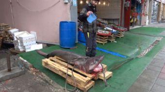 Tekirdağ'da Marmara Denizi'ne açılan balıkçılar, 3 metre uzunluk, 150 kilo ağırlığında camgöz cinsi