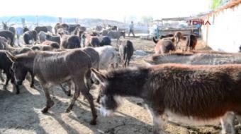 Konya'da eşek sütünün litresi 20 liradan satılıyor