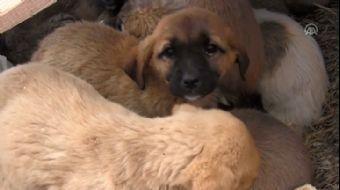 Ölüme Terk Edilen 26'sı Yavru 28 Köpeğe Belediye Sahip Çıktı