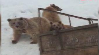 Ayı ve Yavruları Çöplükte Yiyecek Ararken Görüntülendi