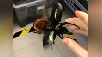 Dünyanın En Büyük Böceklerinden: Atlas Böceği