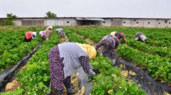 Manisa 3 çiftçi ile başlanan çilek üretimi, Köprübaşı'nın kaderi değişti