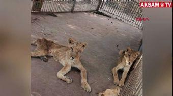 Aslanlar Bir Deri Bir Kemik Kaldı, Sosyal Medya Ayağa Kalktı