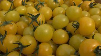 Antalya'da tohum firmalarının yaklaşık 7-8 yıl süren ıslah çalışmaları sonrasında sofralık domatesle