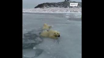 Kutup Ayılarının Buz Üzerindeki Oyunu Gülümsetti