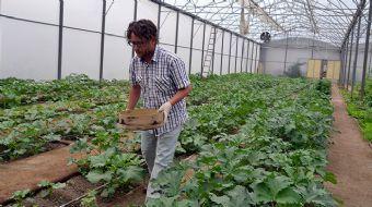 Manisa'nın Saruhanlı ilçesinde kiraladığı 3 buçuk dönümlük arazide sera kurarak bamya yetiştiren üre