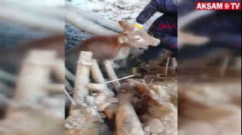 Malatya'da Depremde Çöken Ahırdaki Hayvanlar Kurtarıldı