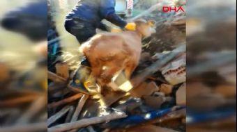 Malatya Depremde Çöken Ahırdaki Hayvanlar Böyle Kurtarıldı