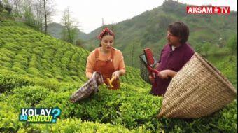 Çay Toplamak Kolay Mı Sandın? | #KolaymıSandın?