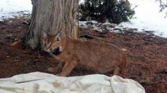 Türkiye'de sınırlı bir yayılış alanına sahip olan ve nesli tehlike altında bulunan yabani bir kedi t