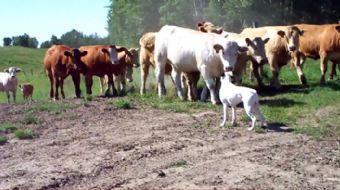 Onlarca ineğin arasında kalan köpek ve İneklerin tavırları kısa sürede sosyal medyada tıklanma rekor
