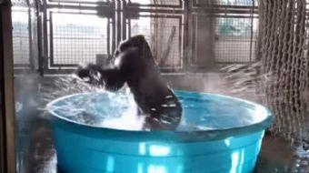 Leğene bırakılan goril ilk defa su görmüşcesine sevindi o görüntüler sosyal medyada beğeni rekoru kı