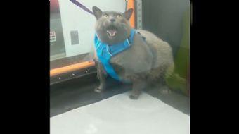 Obez Kedinin Egzersiz Videoları İzlenme Rekorları Kırıyor!