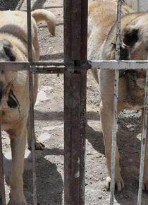 Kangal k�pekleri cam fanusla korunacak