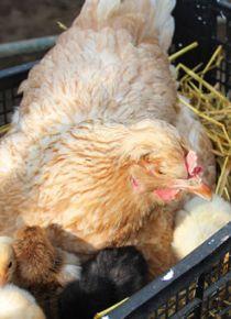 Bu tavuklar altın değerinde!