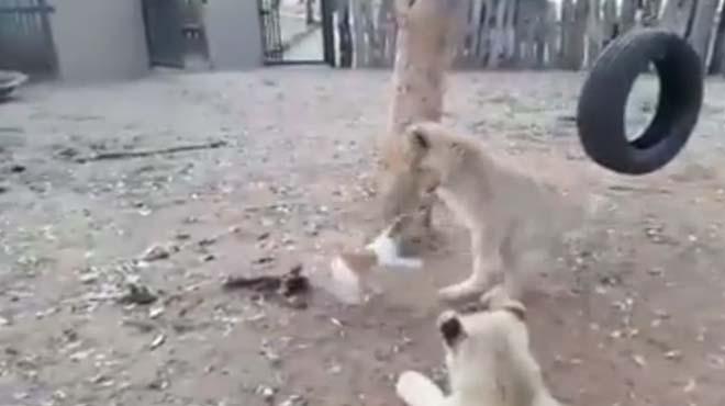 Yavru köpek aslanlara böyle kafa tuttu