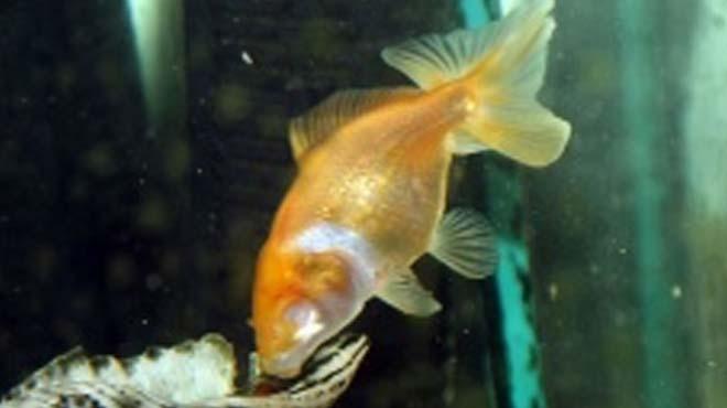 Kör Japon balığı görenleri hayrete düşürüyor