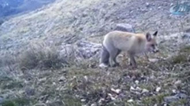 Fotokapanlar nesli tükenmekte olan hayvanları görüntülemeye devam ediyor