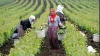 Asma yaprağı kadınlar için gelir kapısı oluyor