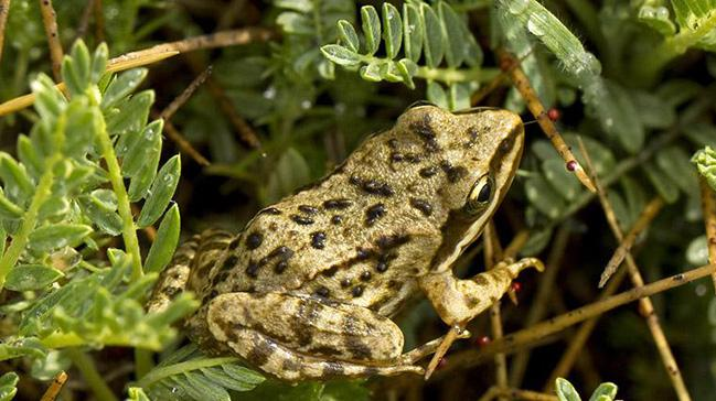 Dünyada sadece Niğde'de görülen ve ölü taklidi yapan Toros kurbağası koruma altına alındı