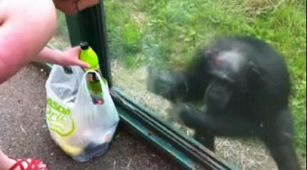İngiltere'de akıllı şempanze işaret diliyle içecek istedi