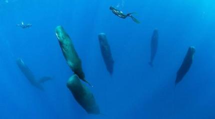 İspermeçet balinaları dik şekilde uyurken görüntülendi